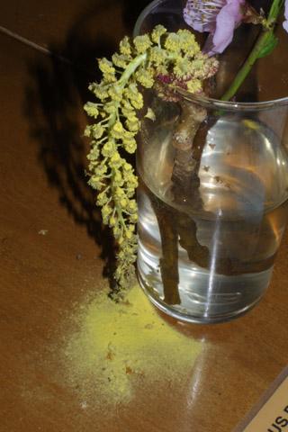 Image http://bioimages.vanderbilt.edu/lq/baskauf/wpode3-flmale-pollen31468.jpg
