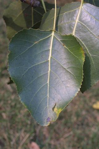 Image http://bioimages.vanderbilt.edu/lq/baskauf/wpode3-lf15339.jpg