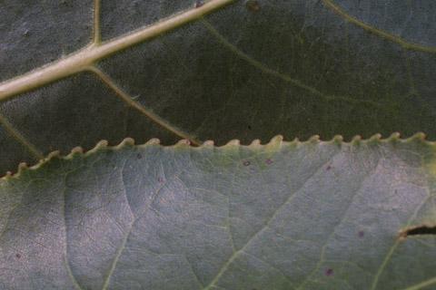 Image http://bioimages.vanderbilt.edu/lq/baskauf/wpode3-lfmargin-uplow15343.jpg