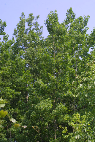 Image http://bioimages.vanderbilt.edu/lq/baskauf/wpogr4-wp35419.jpg