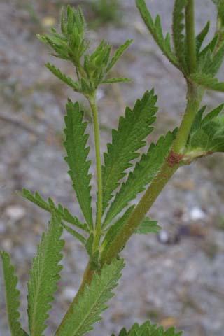 Image http://bioimages.vanderbilt.edu/lq/baskauf/wpore5-lfstem23373.jpg