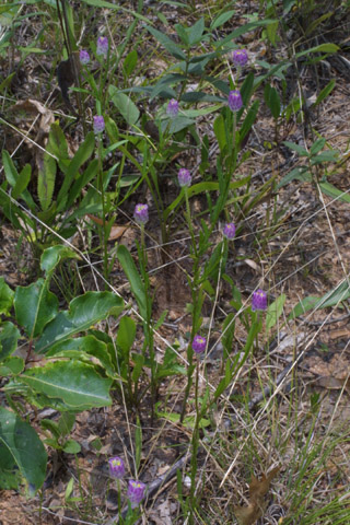 Image http://bioimages.vanderbilt.edu/lq/baskauf/wposa3-wp36726.jpg