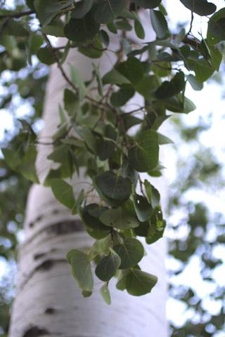 Image http://bioimages.vanderbilt.edu/lq/baskauf/wpotr5-lfseveral13981.jpg