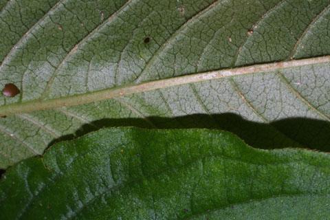 Image http://bioimages.vanderbilt.edu/lq/baskauf/wpovi2-lfmargin-uplow37159.jpg