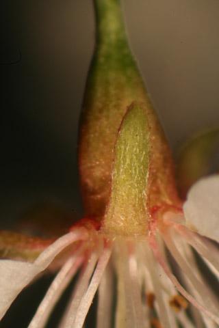 Image http://bioimages.vanderbilt.edu/lq/baskauf/wpram--flcalyx-front-micro51145.jpg