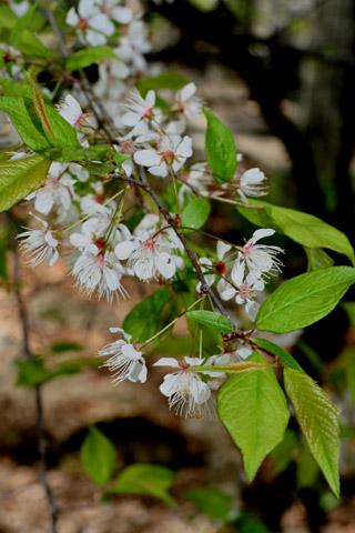 Image http://bioimages.vanderbilt.edu/lq/baskauf/wpram--flinflor51061.jpg