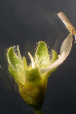 Image http://bioimages.vanderbilt.edu/lq/baskauf/wpran3-flcalyx-lobe31956.jpg