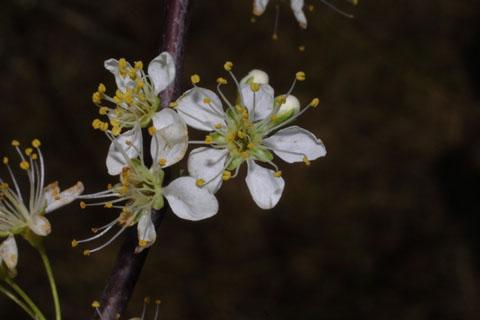 Image http://bioimages.vanderbilt.edu/lq/baskauf/wpran3-flfront31900.jpg