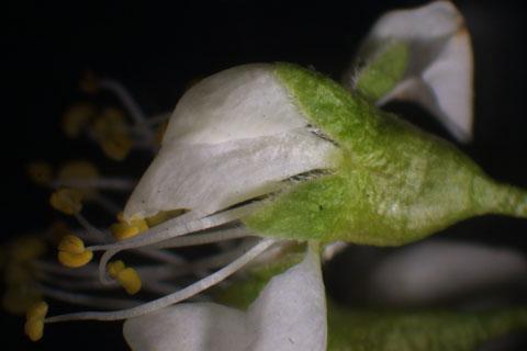 Image http://bioimages.vanderbilt.edu/lq/baskauf/wpran3-flside31970.jpg