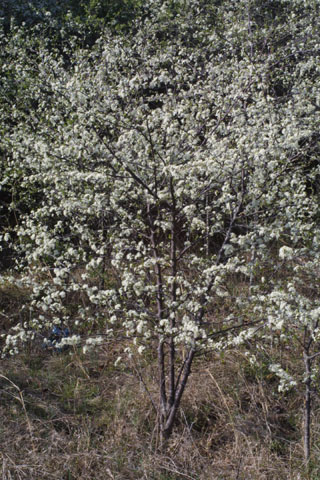 Image http://bioimages.vanderbilt.edu/lq/baskauf/wpran3-wpin-flower32039.jpg