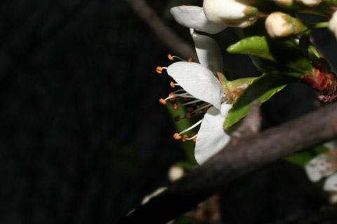 Image http://bioimages.vanderbilt.edu/lq/baskauf/wprmu--flside50766.jpg