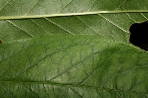 Image http://bioimages.vanderbilt.edu/lq/baskauf/wprmu--lfmargin-uplow52754.jpg