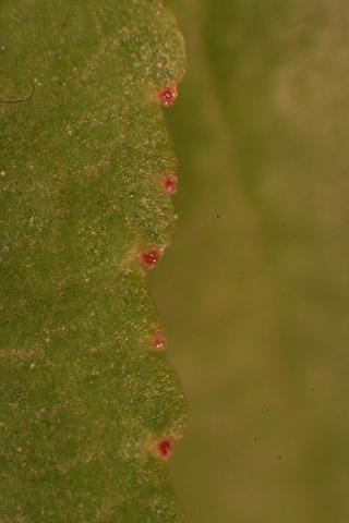 Image http://bioimages.vanderbilt.edu/lq/baskauf/wprmu--lfmarginal-glands50946.jpg
