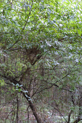 Image http://bioimages.vanderbilt.edu/lq/baskauf/wprmu--wp29714.jpg