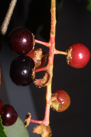 Image http://bioimages.vanderbilt.edu/lq/baskauf/wprse2-frclose35743.jpg