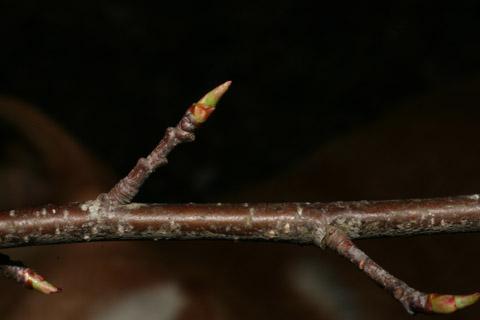 Image http://bioimages.vanderbilt.edu/lq/baskauf/wprse2-tw50474.jpg