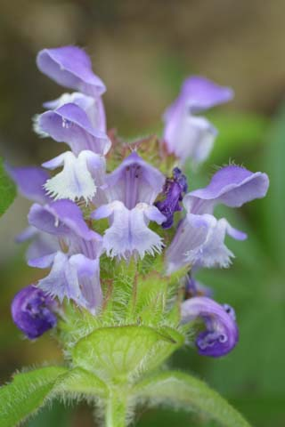 Image http://bioimages.vanderbilt.edu/lq/baskauf/wprvu--fl25202.jpg