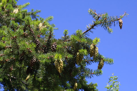 Image http://bioimages.vanderbilt.edu/lq/baskauf/wpsme--codistant41014.jpg