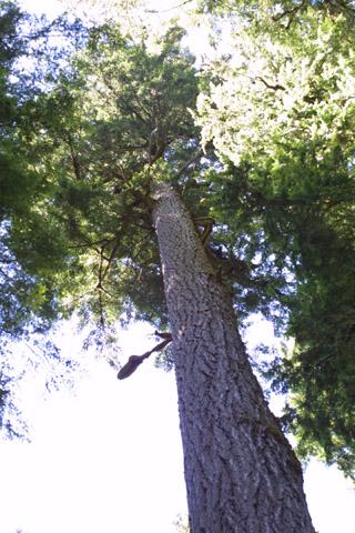Image http://bioimages.vanderbilt.edu/lq/baskauf/wpsme--wplookup40569.jpg