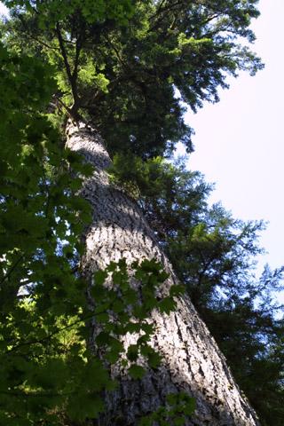 Image http://bioimages.vanderbilt.edu/lq/baskauf/wpsme--wplookup40700.jpg