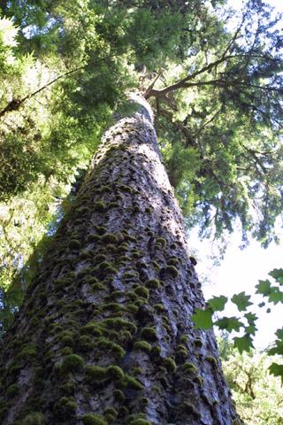 Image http://bioimages.vanderbilt.edu/lq/baskauf/wpsme--wplookup40703.jpg