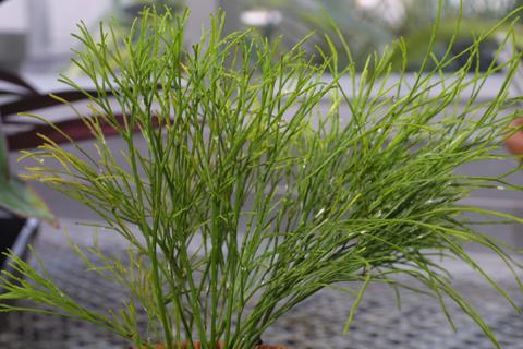 Image http://bioimages.vanderbilt.edu/lq/baskauf/wpsnu--wp16962.jpg