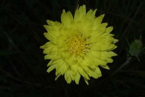 Image http://bioimages.vanderbilt.edu/lq/baskauf/wpyca2-flfront27327.jpg