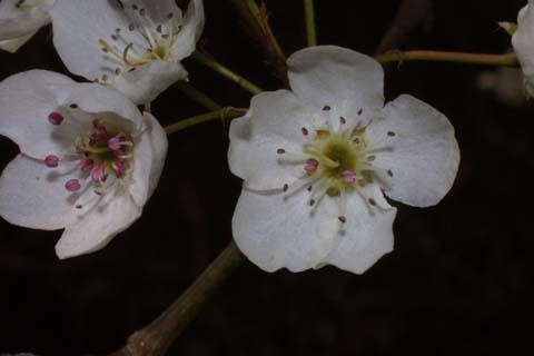 Image http://bioimages.vanderbilt.edu/lq/baskauf/wpyca80flfront31282.jpg