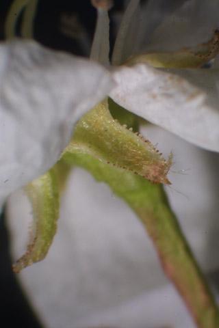 Image http://bioimages.vanderbilt.edu/lq/baskauf/wpyca80flsepals31312.jpg