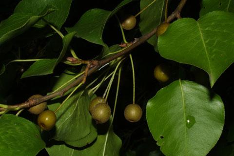 Image http://bioimages.vanderbilt.edu/lq/baskauf/wpyca80frdevel37883.jpg