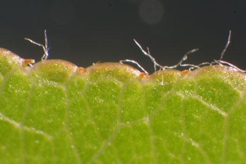 Image http://bioimages.vanderbilt.edu/lq/baskauf/wpyca80lfmargin-micro31780.jpg