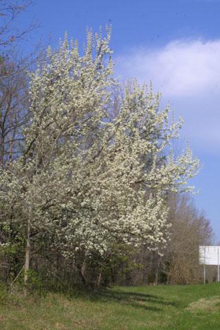 Image http://bioimages.vanderbilt.edu/lq/baskauf/wpyca80wpin-flower32045.jpg