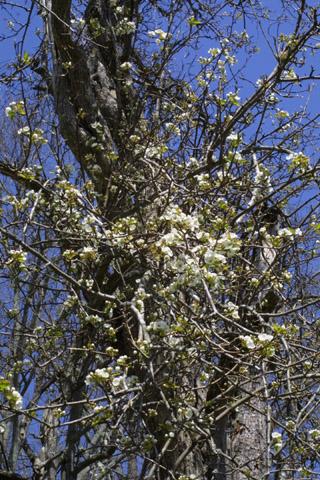 Image http://bioimages.vanderbilt.edu/lq/baskauf/wpyco--fldistant39106.jpg