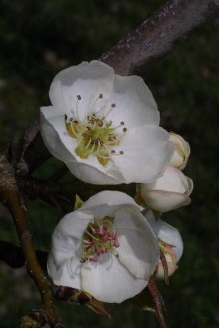 Image http://bioimages.vanderbilt.edu/lq/baskauf/wpyco--flfront39104.jpg