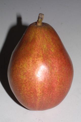 Image http://bioimages.vanderbilt.edu/lq/baskauf/wpyco--frside30897.jpg