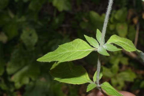 Image http://bioimages.vanderbilt.edu/lq/baskauf/wpypy--lfseveral28638.jpg