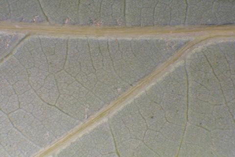Image http://bioimages.vanderbilt.edu/lq/baskauf/wqual--lflower-micro12528.jpg