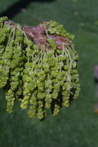 Image http://bioimages.vanderbilt.edu/lq/baskauf/wqubi--flinflor18836.jpg