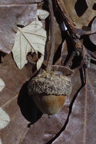 Image http://bioimages.vanderbilt.edu/gq/baskauf/gqubi--fr16299.jpg