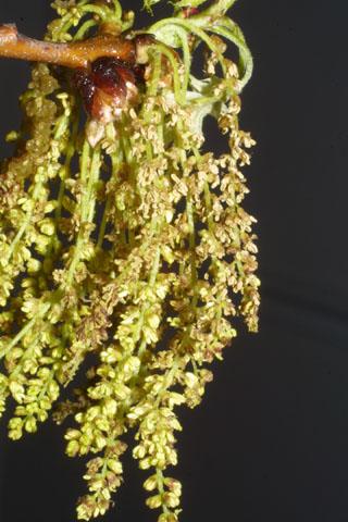 Image http://bioimages.vanderbilt.edu/lq/baskauf/wquco2-flmale-inflor32020.jpg