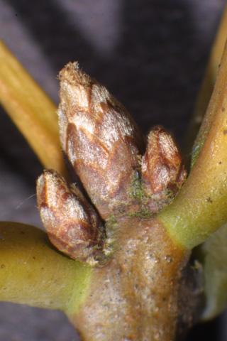 Image http://bioimages.vanderbilt.edu/lq/baskauf/wquco2-twbuds-micro16256.jpg