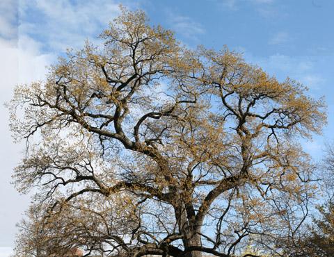 Image http://bioimages.vanderbilt.edu/lq/baskauf/wqufa--wpspring50640.jpg