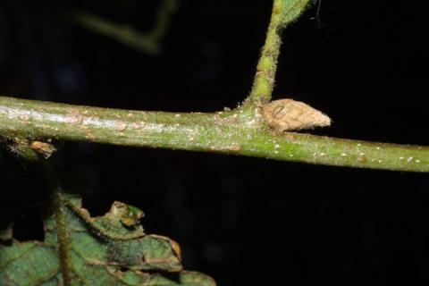 Image http://bioimages.vanderbilt.edu/lq/baskauf/wquga4-twlateral-bud41831.jpg