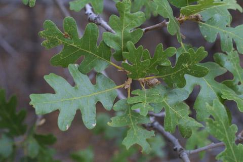 Image http://bioimages.vanderbilt.edu/lq/baskauf/wqugag-lfseveral14139.jpg
