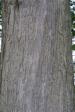Image http://bioimages.vanderbilt.edu/lq/baskauf/wquly--br33519.jpg
