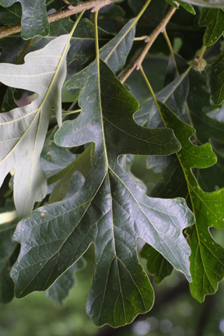 Image http://bioimages.vanderbilt.edu/lq/baskauf/wquma2-lf12500.jpg