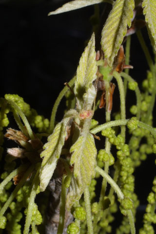 Image http://bioimages.vanderbilt.edu/lq/baskauf/wqumi--flfemale32027.jpg