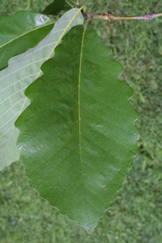 Image http://bioimages.vanderbilt.edu/lq/baskauf/wqumi--lf12334.jpg