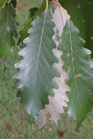 Image http://bioimages.vanderbilt.edu/lq/baskauf/wqumi--lf15904.jpg