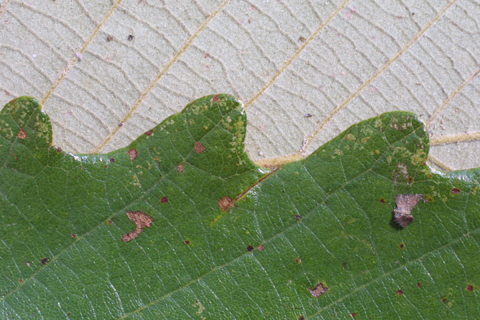 Image http://bioimages.vanderbilt.edu/lq/baskauf/wqumi--lfmargin-uplow15905.jpg